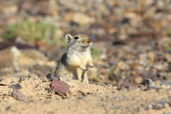 Дикая песчанка: где обитает, чем питается, образ жизни