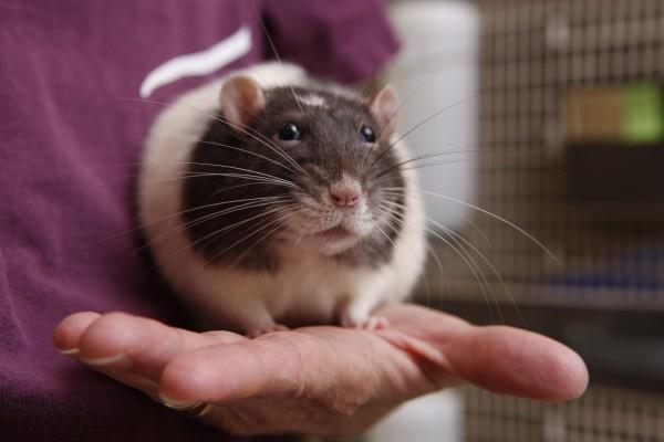 Если выпустить крысу вернется ли она в клетку?