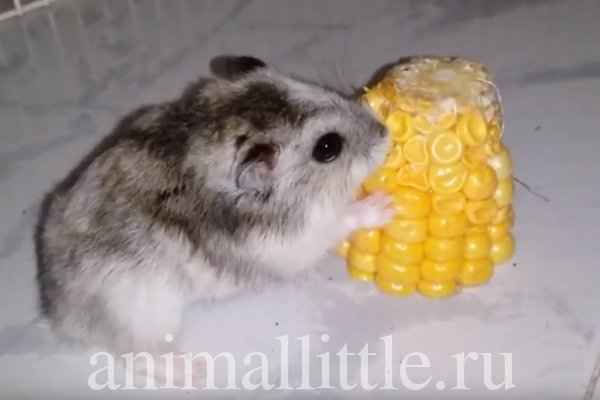 Можно ли давать хомякам кукурузу? Попкорн и кукурузные палочки в рационе грызуна
