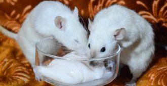 крысы едят йогурт