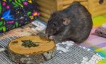 крыса ест морскую капусту