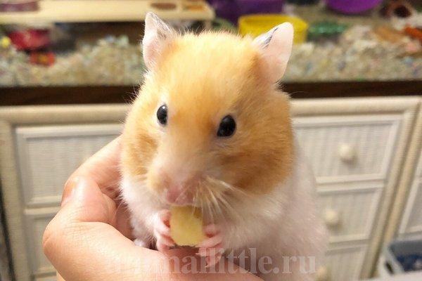 Сирийский хомяк ест банан