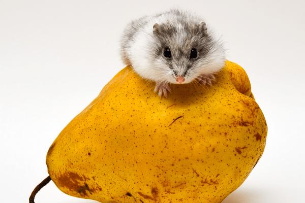 Можно ли давать грушу хомякам — фрукт в рационе джунгарских и сирийских хомячков