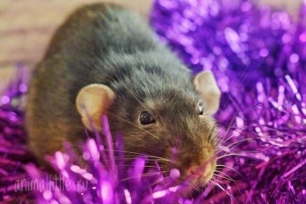 Почему не стоит дарить живую крысу на Новый год? Декоративная крыса — худший подарок на 2020
