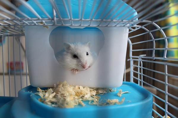Кожные заболевания у хомячков — причины, симптомы и лечение