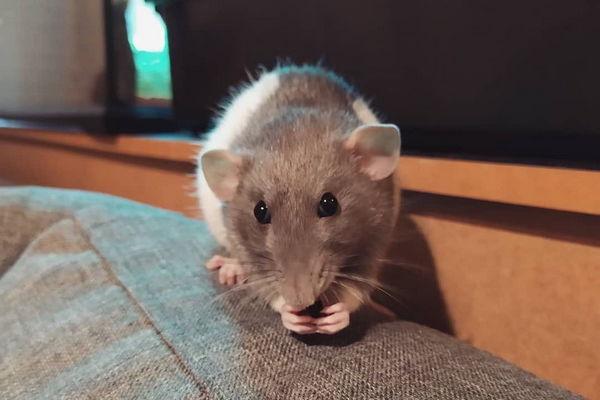 Декоративная крыса: отзывы владельцев