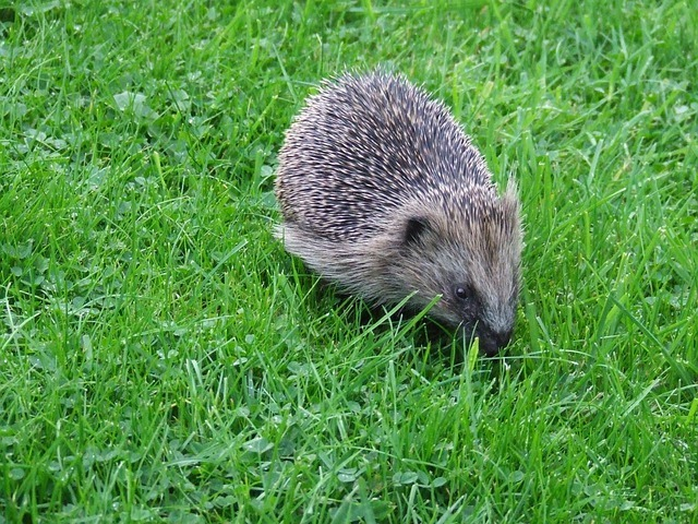 Foraging Hedgehog Hungry Animal