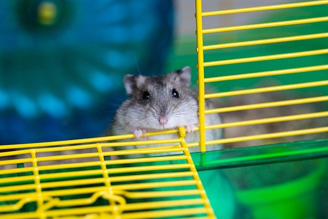 Hamster Pet Mammal Animal Creature - Cparks / Pixabay