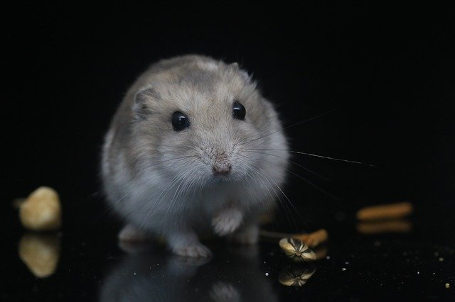 Hamster Pets Small Animals Hamster - appledeng / Pixabay