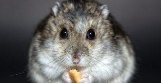 Hamster Rodent Dwarf Hamster Nager - Lichtpuenktchen / Pixabay