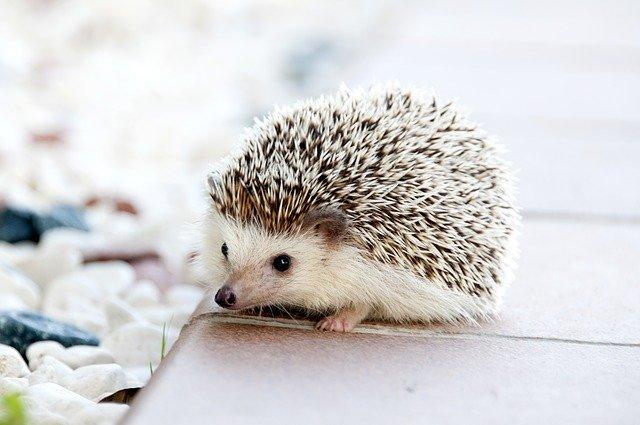 Hedgehog Animal Baby Cute Small - amayaeguizabal / Pixabay