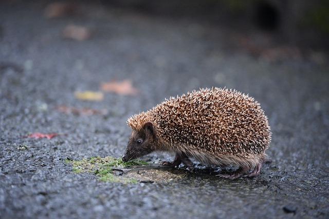 Hedgehog Animal Cute Nature Hannah - haeuptling / Pixabay
