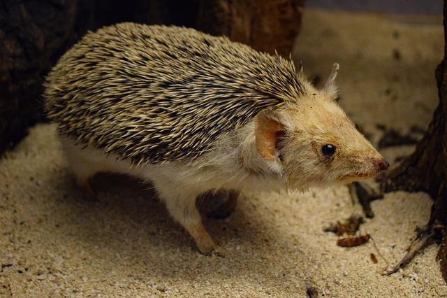 Hedgehog Animal Cute Prickly - dimitrisvetsikas1969 / Pixabay