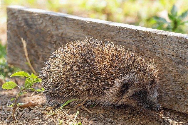 Hedgehog Animal Endearing Thorny
