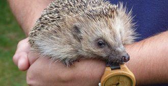Hedgehog Spiny Mammal Handled - Meatle / Pixabay