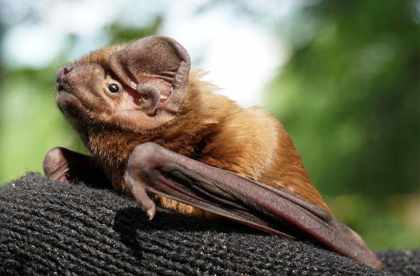 Гигантская вечерница (Nyctalus lasiopterus) — летучая мышь в Красной книге