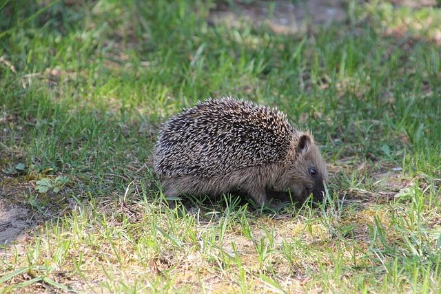 Nature Mammal Garden Hedgehog
